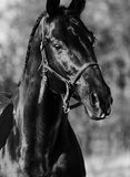Portrait of beautiful black breed stallion.  Stock Images