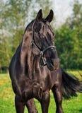 Portrait of  beautiful black breed stallion Stock Image