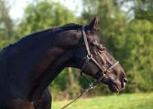 Portrait of  beautiful black breed stallion.  Royalty Free Stock Image