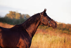 Portrait of beautiful black breed stallion in field.  Royalty Free Stock Photography