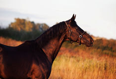 Portrait of beautiful black breed stallion in field.  Royalty Free Stock Photos