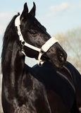 Portrait of beautiful black breed stallion in spring field.  Royalty Free Stock Photography