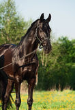 Portrait of beautiful black breed stallion in spring field.  Royalty Free Stock Photos