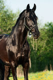 Portrait of beautiful black breed stallion in spring field.  Stock Photography