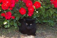 Portrait of beautiful black cat under red rose Stock Images