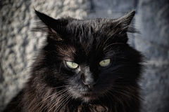 Portrait of a beautiful black Chantilly Tiffany cat at home Stock Photography
