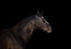 A portrait of beautiful black holshteiner horse isolated on blac Royalty Free Stock Images