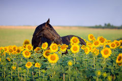 Portrait of beautiful black horse in flower. Portrait of beautiful black horse, which stands in sunflowers on a background field Royalty Free Stock Photos