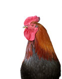 Portrait Beautiful black-red cock Royalty Free Stock Photos