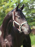 Portrait of  beautiful black trakehner stallion. Portrait of  nice stallion  outdoor sunny day Royalty Free Stock Photos