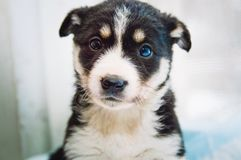 Portrait of a beautiful black with white spots purebred puppy. Close-up. Portrait of a beautiful black with white spots purebred puppy. Closeup stock photo