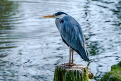 Portrait of a beautiful blue heron on a tree stump royalty free stock images