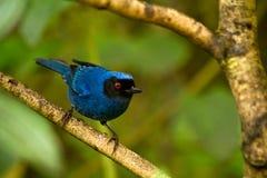 Portrait of beautiful blue hummingbird Stock Images