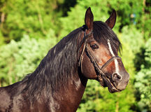 Portrait of beautiful breed sportive stallion. Sunny evening Stock Images