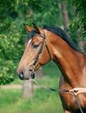 Portrait of beautiful breed stallion Royalty Free Stock Photos