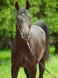 Portrait of  beautiful breed stallion around pine Royalty Free Stock Photography