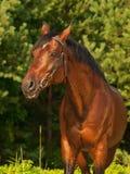 Portrait of  beautiful breed stallion around pine Stock Images