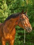 Portrait of  beautiful breed stallion around pine Stock Image