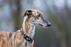Portrait of a brindle Galgo Espanol stock photography