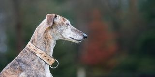 Portrait of a brindle Galgo Espanol stock image