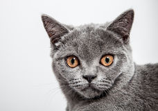 Portrait of a beautiful british cat Royalty Free Stock Images