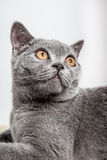 Portrait of a beautiful british cat Stock Photography