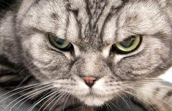 Portrait of beautiful british shorthair cat Stock Photo
