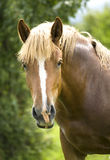 Portrait of a beautiful brown horse. Stock Images