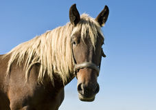 Portrait of beautiful brown horse. On blue sky Stock Photos