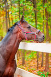Portrait of a beautiful brown horse Royalty Free Stock Images