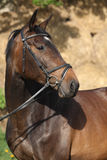 Portrait of beautiful brown horse Stock Photography