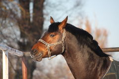 Portrait of beautiful brown horse in the paddock Stock Photos