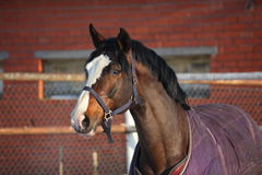 Portrait of beautiful brown horse in the paddock Royalty Free Stock Photo