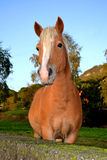 Portrait of a beautiful brown horse. Stock Photography