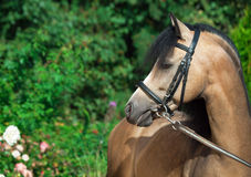 Portrait of beautiful buckskin welsh pony Royalty Free Stock Images