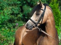 Portrait of beautiful buckskin welsh pony Stock Photo