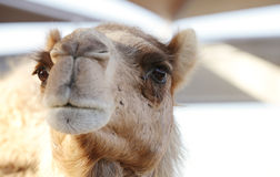A portrait of a beautiful camel Stock Images