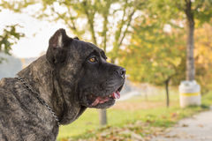 Portrait of beautiful Cane Corso dog standing outdoors Stock Images
