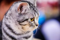 Portrait of beautiful cat royalty free stock images