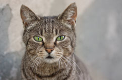 Portrait of a beautiful cat. A striped cat with green eyes Royalty Free Stock Photography