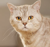 Portrait of beautiful cat Stock Photos