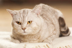 Portrait of beautiful cat Stock Images