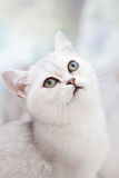 Portrait of a beautiful cat. Royalty Free Stock Photo