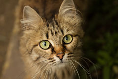 Portrait of a beautiful cat close-up. Royalty Free Stock Photo