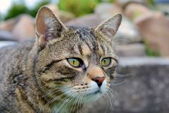 Portrait beautiful cat Royalty Free Stock Photography