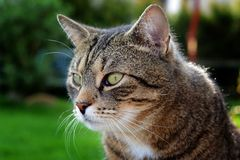 Portrait beautiful cat Royalty Free Stock Photo