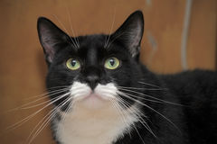 Portrait of a beautiful  cat. Portrait of a handsome black and white cat big Stock Photos