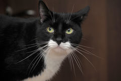 Portrait of a beautiful  cat. Portrait of a handsome black and white cat big Stock Image