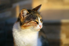 Portrait of a beautiful cat Royalty Free Stock Image