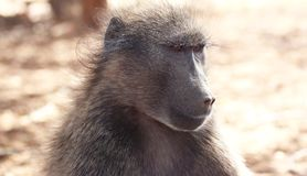 Chacma baboon. A portrait of a beautiful chacma baboon royalty free stock photos